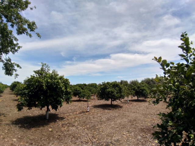 """Impianto sperimentale agrumicolo presso l'area studio """"Piana di Catania"""""""